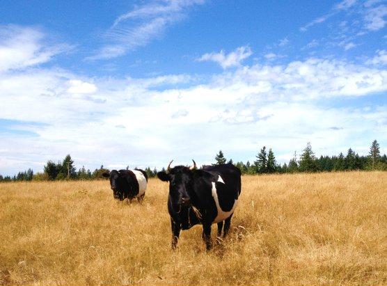 cows boondockers