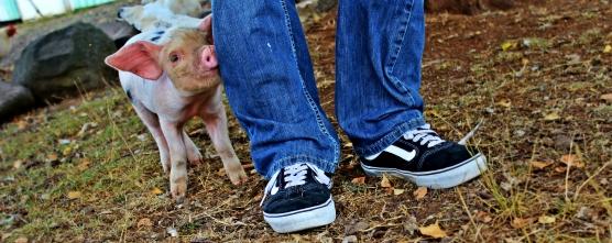 daves pig