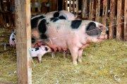 pigs boondockers