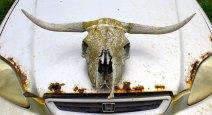 cow skull essex farm