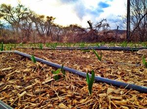 bosque garlic shoots